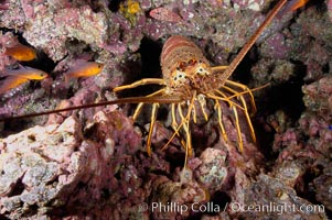 Spiny lobster in rocky crevice. Guadalupe Island (Isla Guadalupe), Baja California, Mexico, Panulirus interruptus, natural history stock photograph, photo id 09567