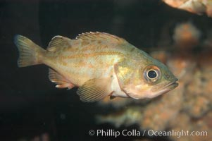 Splitnosed rockfish, Sebastes diploproa
