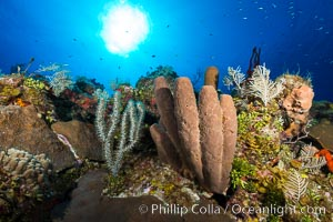 Sponges on Caribbean coral reef, Grand Cayman Island. Grand Cayman, Cayman Islands, natural history stock photograph, photo id 32035