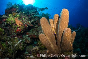 Sponges on Caribbean coral reef, Grand Cayman Island. Grand Cayman, Cayman Islands, natural history stock photograph, photo id 32037