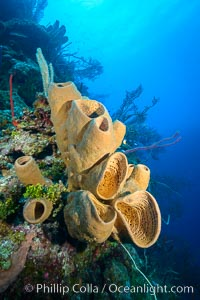 Sponges on Caribbean coral reef, Grand Cayman Island. Grand Cayman, Cayman Islands, natural history stock photograph, photo id 32107