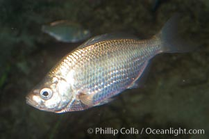 Spotfin surfperch, Hyperprosopon anale