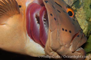 Spotted coralgrouper exposes its gills in order to be cleaned by cleaner wrasse (not in frame), Plectropomus maculatus