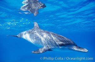 Atlantic spotted dolphin, juvenile. Bahamas, Stenella frontalis, natural history stock photograph, photo id 00679