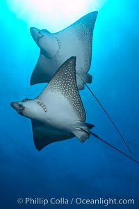 Spotted eagle rays. Wolf Island, Galapagos Islands, Ecuador, Aetobatus narinari, natural history stock photograph, photo id 16333