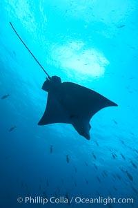 Spotted eagle ray, Aetobatus narinari, Wolf Island