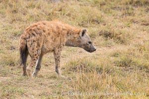Spotted hyena, Amboseli National Park, Kenya, Crocuta crocuta