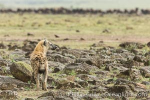 Spotted hyena surveying wildebeest herd, Maasai Mara National Reserve, Kenya, Crocuta crocuta