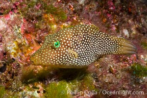 Spotted sharpnose puffer fish, Sea of Cortez, Baja California, Mexico. Sea of Cortez, Baja California, Mexico, Canthigaster punctatissima, natural history stock photograph, photo id 27492