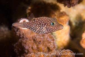 Spotted sharpnose puffer fish, Sea of Cortez, Baja California, Mexico, Canthigaster punctatissima, Isla San Francisquito