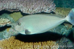 Spotted unicornfish, Naso brevirostris