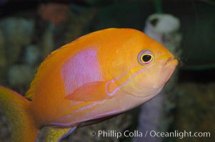 Square-spot fairy basslet, male coloration., Pseudanthias pleurotaenia, natural history stock photograph, photo id 08856