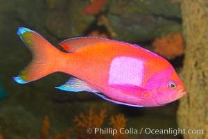 Square-spot fairy basslet, male coloration., Pseudanthias pleurotaenia, natural history stock photograph, photo id 12862