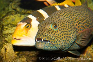 Squaretail coralgrouper (front) and saddleback coralgrouper (rear), Plectropomus areolatus, Plectropomus laevis
