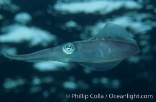 Squid. Roatan, Honduras, natural history stock photograph, photo id 00313