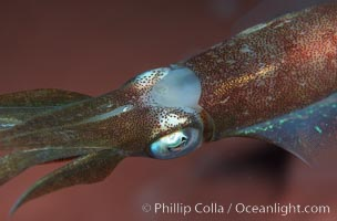 Squid, Roatan