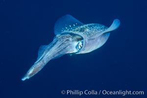 Squid, Roatan