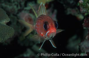 Squirrelfish, Sargocentron, Roatan
