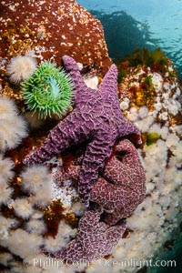 Colorful starfish and anemones cling to submarine rocks, on the subtidal reef, Browning Pass, Vancouver Island, Metridium senile