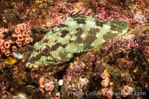 Starry grouper, Sea of Cortez, Baja California, Mexico, Isla Las Animas