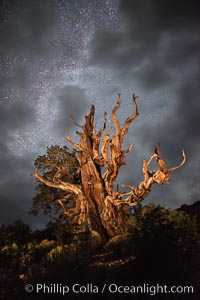 Stars and the Milky Way rise above ancient bristlecone pine trees, in the White Mountains at an elevation of 10,000' above sea level. These are some of the oldest trees in the world, some exceeding 4000 years in age, Pinus longaeva, Ancient Bristlecone Pine Forest, White Mountains, Inyo National Forest