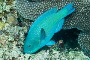 Steephead parrotfish, Chlorurus microrhinos, grazing on coral reef, Makogai Island, Lomaiviti Archipelago, Fiji