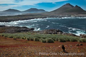 Steeple Jason Island, striated caracara in the foreground, southwestern exposure, looking south pass the isthmus toward the southern half of the island.  Steeple Jason is one of the remote Jason Group of Islands in the West Falklands.  Uninhabited, the island is spectacular both for its rugged scenery and its enormous breeding colony of black-browed albatross.  Steeple Jason Island is now owned and administered by the Wildlife Conservation Society, Phalcoboenus australis