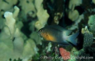 Bicolor damselfish, Stegastes partitus, Roatan