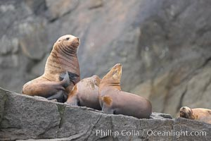 Steller sea lions (Northern sea lions) gather on rocks.  Steller sea lions are the largest members of the Otariid (eared seal) family.  Males can weigh up to 2400 lb, females up to 770 lb, Eumetopias jubatus, Chiswell Islands, Kenai Fjords National Park, Alaska