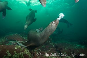 Steller sea lion underwater bubble display, Norris Rocks, Hornby Island, British Columbia, Canada, Eumetopias jubatus