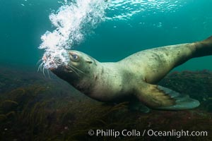 Steller sea lion underwater bubble display, Norris Rocks, Hornby Island, British Columbia, Canada. Hornby Island, British Columbia, Canada, Eumetopias jubatus, natural history stock photograph, photo id 32802