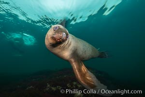 Steller sea lion underwater, Norris Rocks, Hornby Island, British Columbia, Canada. Hornby Island, British Columbia, Canada, Eumetopias jubatus, natural history stock photograph, photo id 32660