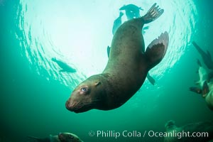 Steller sea lion underwater, Norris Rocks, Hornby Island, British Columbia, Canada. Hornby Island, British Columbia, Canada, Eumetopias jubatus, natural history stock photograph, photo id 32667