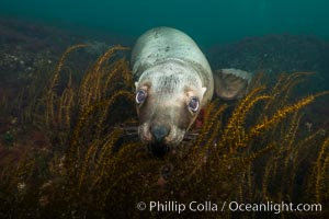 Steller sea lion underwater, Norris Rocks, Hornby Island, British Columbia, Canada. Hornby Island, British Columbia, Canada, Eumetopias jubatus, natural history stock photograph, photo id 32674