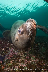 Steller sea lion underwater, Norris Rocks, Hornby Island, British Columbia, Canada. Hornby Island, British Columbia, Canada, Eumetopias jubatus, natural history stock photograph, photo id 32701