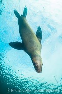 Steller sea lion underwater, Norris Rocks, Hornby Island, British Columbia, Canada, Eumetopias jubatus