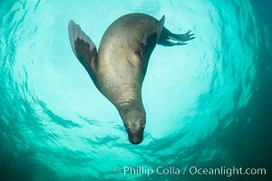Steller sea lion underwater, Norris Rocks, Hornby Island, British Columbia, Canada. Hornby Island, British Columbia, Canada, Eumetopias jubatus, natural history stock photograph, photo id 32773
