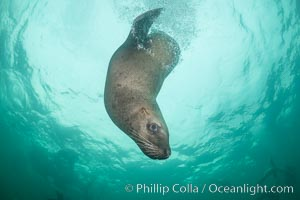 Steller sea lion underwater, Norris Rocks, Hornby Island, British Columbia, Canada. Hornby Island, British Columbia, Canada, Eumetopias jubatus, natural history stock photograph, photo id 32774