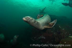 Steller sea lion underwater, Norris Rocks, Hornby Island, British Columbia, Canada. Hornby Island, British Columbia, Canada, Eumetopias jubatus, natural history stock photograph, photo id 32775