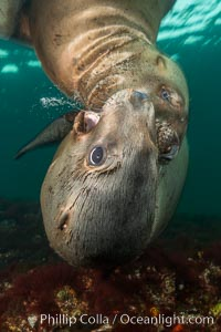 Young Steller sea lions mock jousting underwater,  a combination of play and mild agreession, Norris Rocks, Hornby Island, British Columbia, Canada. Hornby Island, British Columbia, Canada, Eumetopias jubatus, natural history stock photograph, photo id 32695