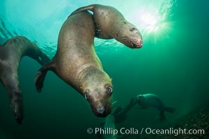 Steller sea lions underwater, Norris Rocks, Hornby Island, British Columbia, Canada. Hornby Island, British Columbia, Canada, Eumetopias jubatus, natural history stock photograph, photo id 32662