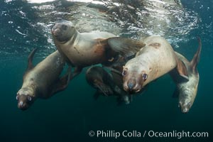 Steller sea lions underwater, Norris Rocks, Hornby Island, British Columbia, Canada. Hornby Island, British Columbia, Canada, Eumetopias jubatus, natural history stock photograph, photo id 32679