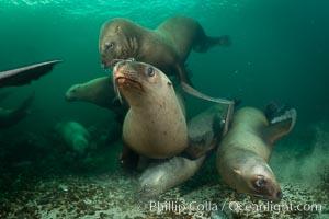 Steller sea lions underwater, Norris Rocks, Hornby Island, British Columbia, Canada. Hornby Island, British Columbia, Canada, Eumetopias jubatus, natural history stock photograph, photo id 32683