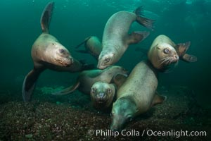 Steller sea lions underwater, Norris Rocks, Hornby Island, British Columbia, Canada. Hornby Island, British Columbia, Canada, Eumetopias jubatus, natural history stock photograph, photo id 32687