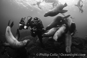 Diver with Steller sea lions, black and white, Norris Rocks, Hornby Island, British Columbia, Canada, Eumetopias jubatus
