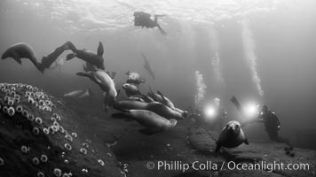 Steller sea lions underwater, black and white, Norris Rocks, Hornby Island, British Columbia, Canada, Eumetopias jubatus