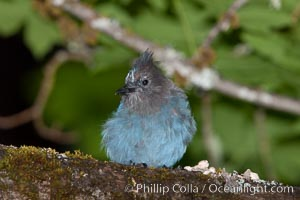 Steller's jay, or blue jay, Cyanocitta stelleri, Oregon Caves National Monument