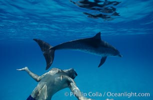 Atlantic spotted dolphin, Olympic swimmer Matt Biondi. Bahamas, Stenella frontalis, natural history stock photograph, photo id 00662