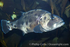 Black seabass (giant black sea bass), juvenile, Stereolepis gigas