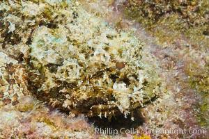 Stone scorpionfish, Sea of Cortez, Baja California, Mexico, Scorpaena mystes